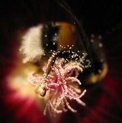 Пчела в цвете