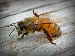 Пчела предупреждает - храните мёд правильно!
