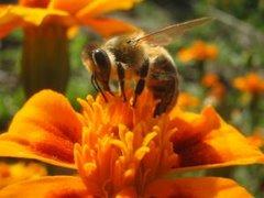 Пчёлы отбирают для своего мёда лучшее, а люди?