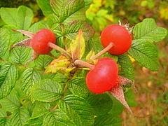 Хворобороб - витаминный настой из шиповника