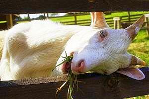 Козье молоко - вкусно, полезно, сытно