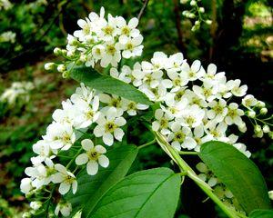Черёмуха - соцветья и листья