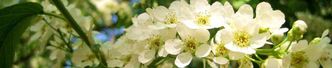 Цветы черёмухи