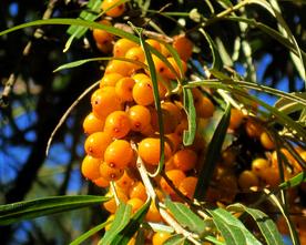 Облепиха - сибирский ананас