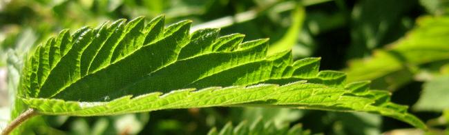 Лист крапивы двудомной