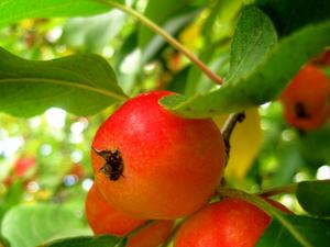 О яблоках в Иммунном меню