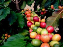 Ягоды кофе