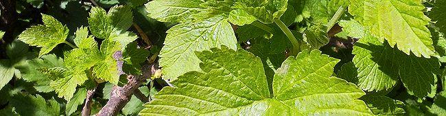Весенний лист смородины чёрной