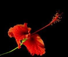 Цвет афродизиака