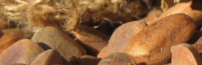Кедровый орех стланник
