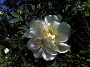 Белый элексир из шиповника