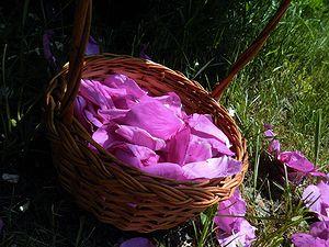 Сбор розовых лепестков
