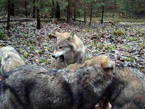 Иерархия у волков