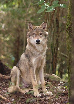 Ухаживание у волков