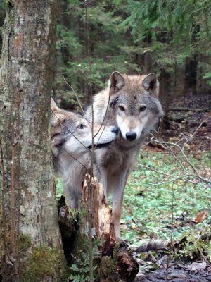 Альфа пара волков
