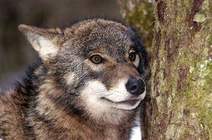 Альфа волчица