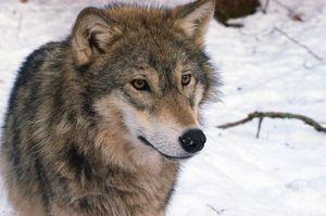 Преданность волков семье
