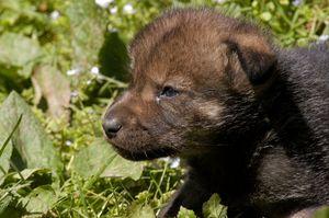 Как учатся волки охоте