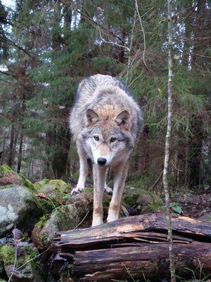 Волки живут семьями