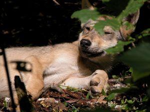 Нежность волка