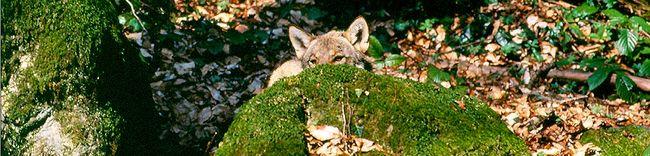 Волк на посту