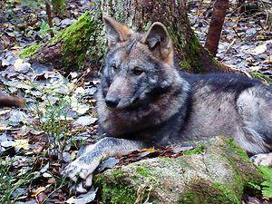 Волк отдыхающий