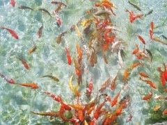 Красивые красные рыбки