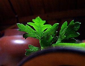 Петрушка - лечебные свойства растения