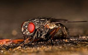 Переносчик паразитарных - муха