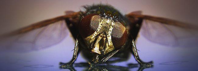 О мухе и паразитах