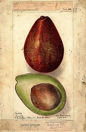История применения и состав авокадо